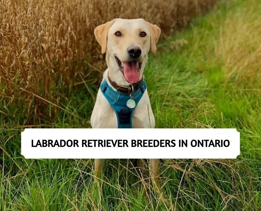 Best Labrador Retriever Breeders in Ontario
