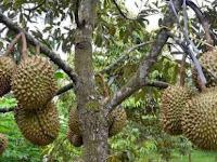 Simak, Cara Sukses Memilih Bibit Durian Yang Cepat Berbuah