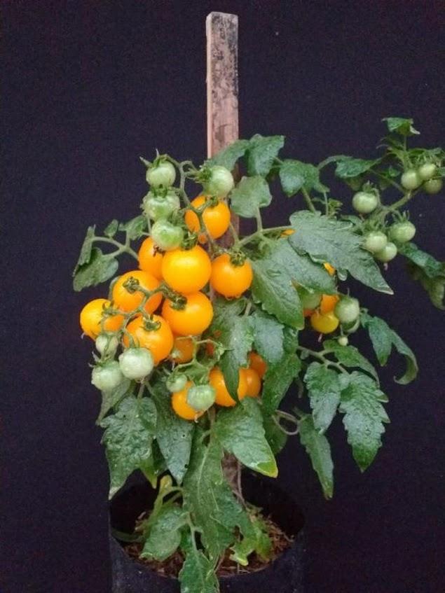 Paket Benih 40 Biji Tomat Mini 4 Jenis Samarinda