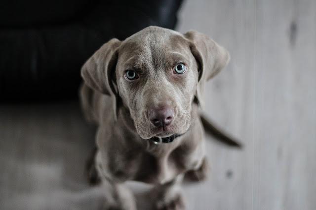 كلب بعيون زرقاء جميلة