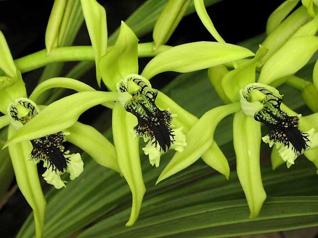 bunga anggrek hitam