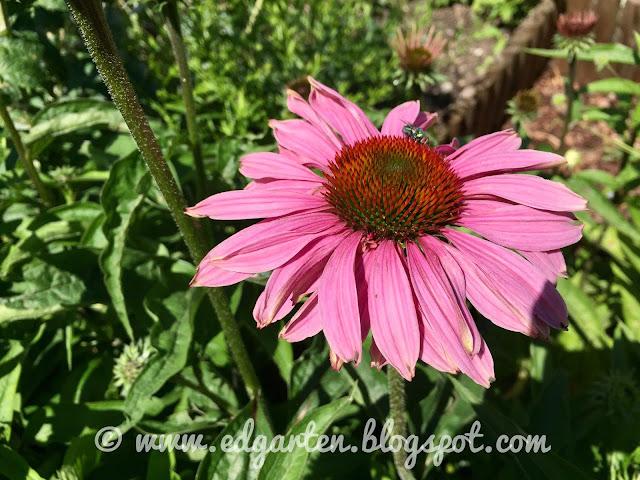 Echinacea blühend