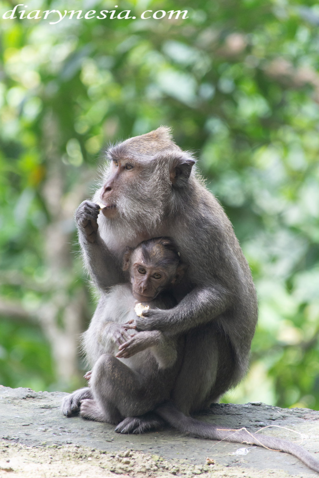 monkey forest pusuk tourism, lombok island tourism, best tourist destinations in lombok Indonesia, diarynesia