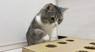 Chú mèo Gemoy này nổi tiếng trên Youtube và phá vỡ kỷ lục thế giới