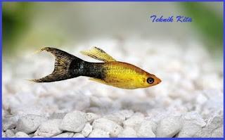 Golden black moli