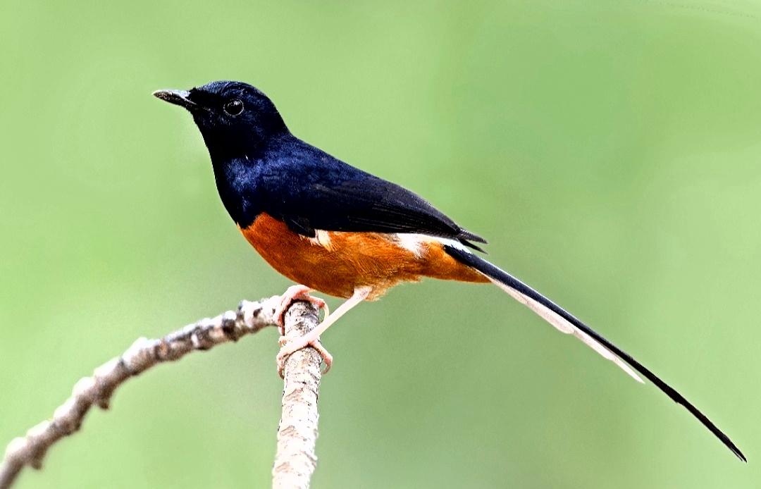 Burung Murai Batu Ciri Ciri Jenis Dan Perawatannya Beserta Video Murai Medan Gacor Hobinatang