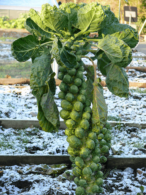Do You Know Where Food Comes From These 12 Pictures Will Show You - Brussels Sprout