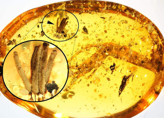 World's Oldest Slime Mold Found in Amber