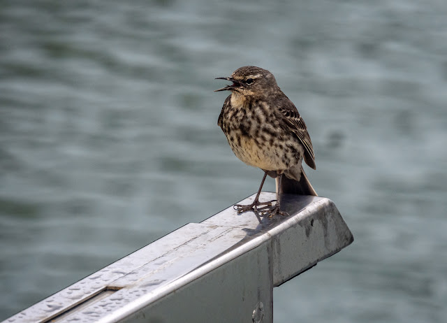 Photo of a rock pipit on one of Ravensdale's davits