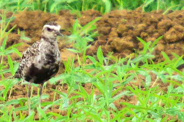 birds, migratory, Okinawa, Pluvialis fulva, Munaguro