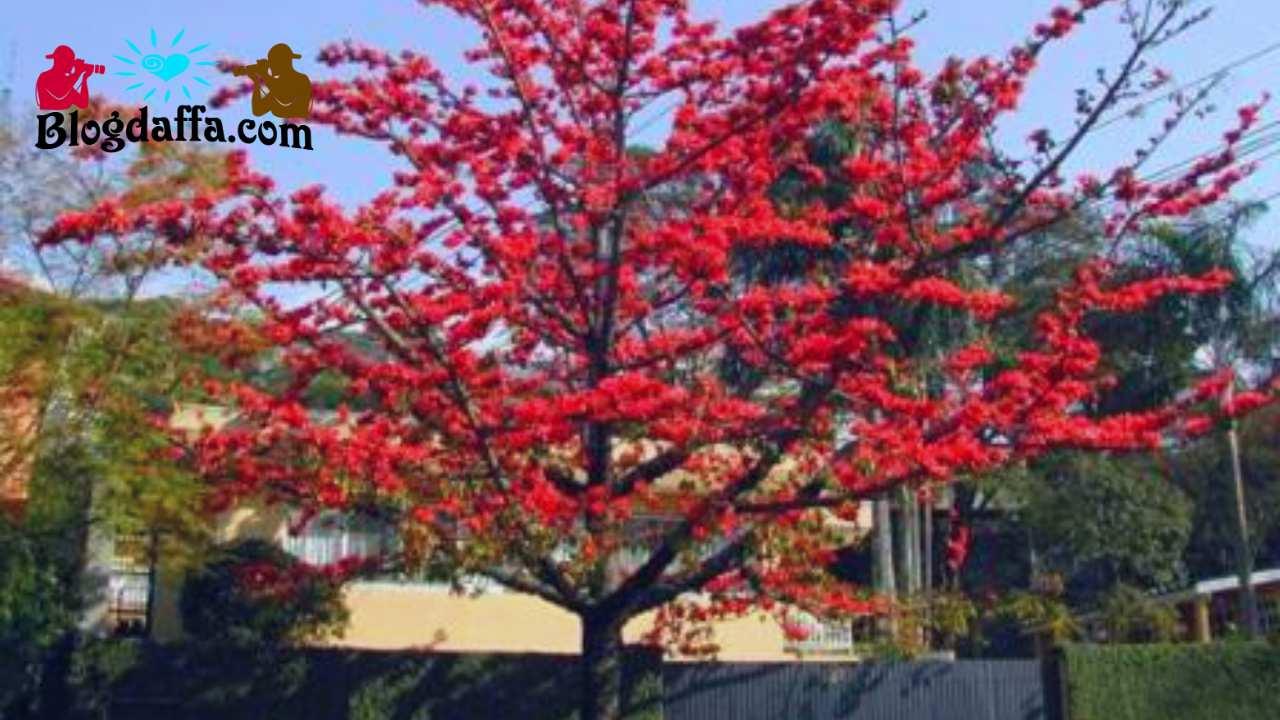 Randu Alas (Bombax Ceiba)