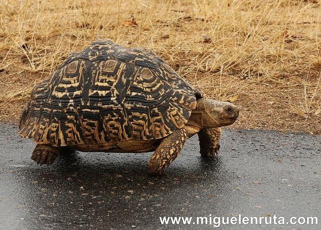 Tortuga-Kruger
