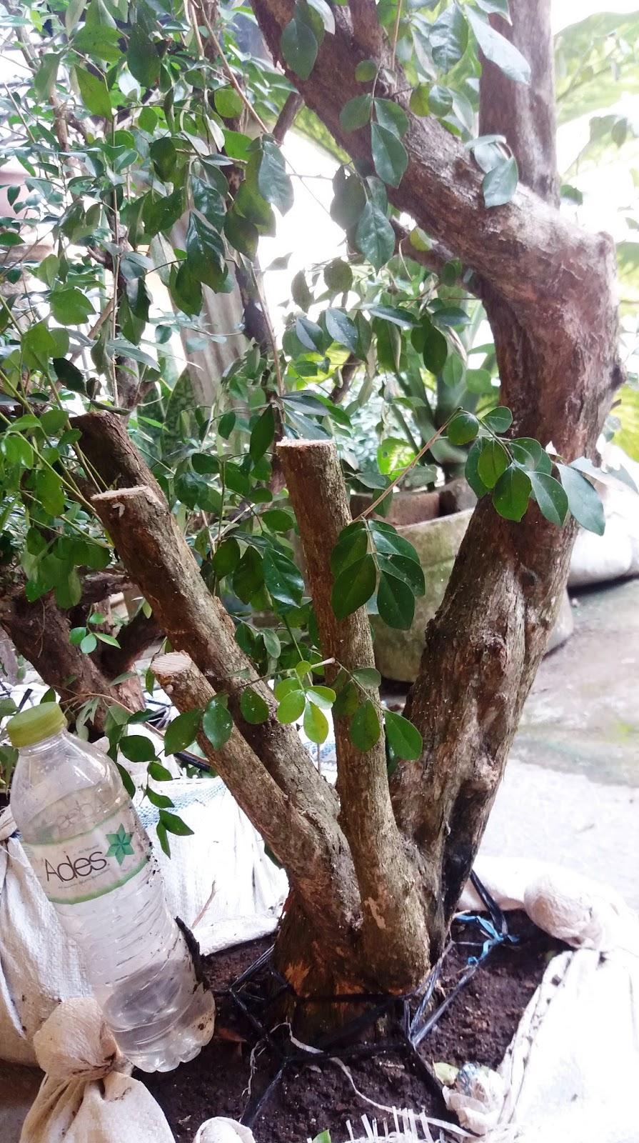 KIREINA BONSAI: Bonsai Kemuning: Tips Membentuk dan Merawat