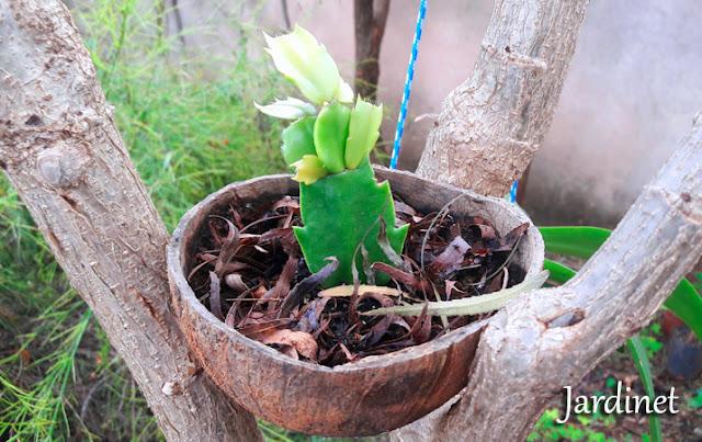 Substrato para flor-de-maio