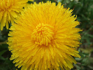 Dandelion for Infusion