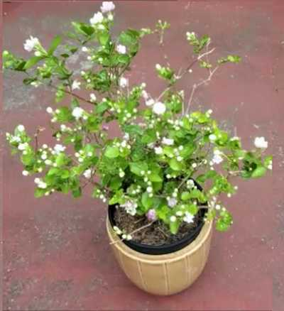 Jasmine Plant Growing in a Container