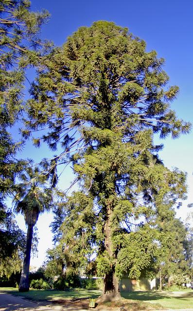 HOW TO GROW ARAUCARIA BIDWILLII - the Bunya Pine