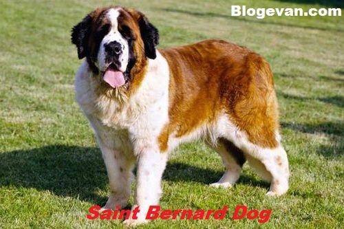 Anjing Santo Bernardus