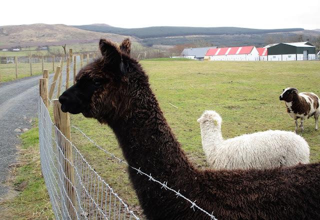 Alpakka, Kerry, Camp, Sandy Feet Farm
