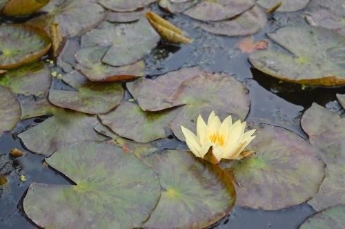 ninfee-giardino-piante acquatiche-orto botanico