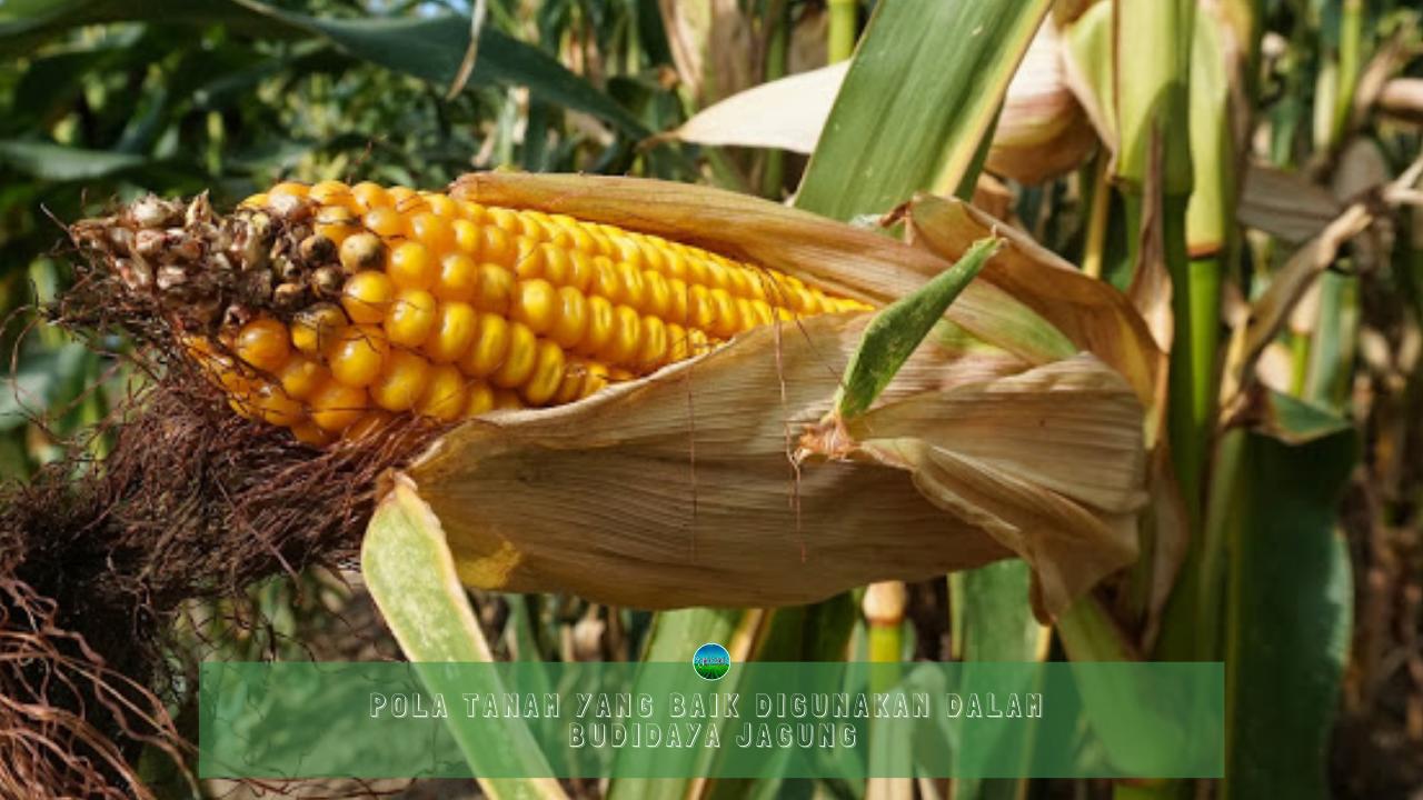 Pola tanam dalam budidaya jagung