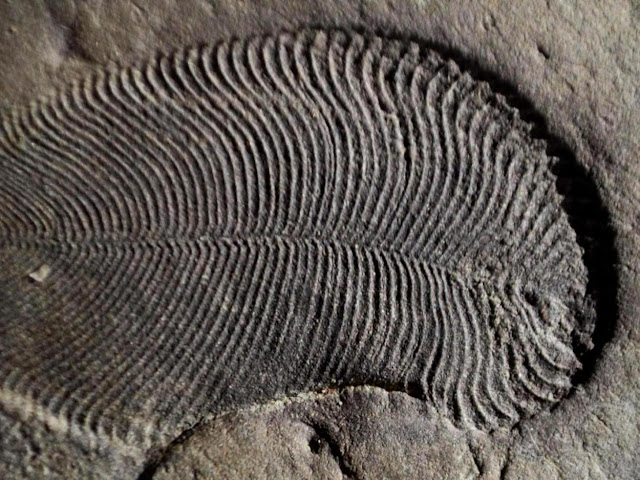 This is a Dickinsonia fossil.