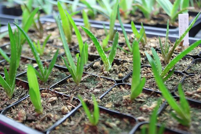 Aloe dawei seedlings