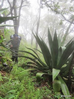 Maguey de mas de 2m de altura en el Cerro García