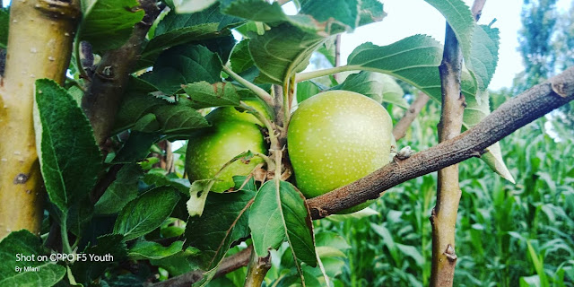 apple farming in Kenya