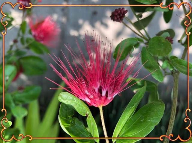 Calliandra - Esponjinha Vermelha
