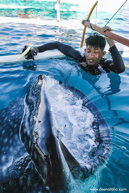 Wisata whale shark gorontalo