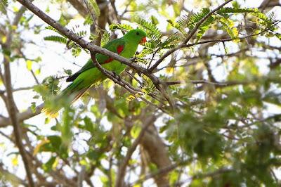 Papagayo de Timor: Aprosmictus jonquillaceus