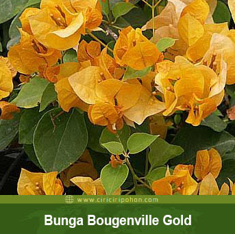 ciri ciri pohon bunga bougenville california gold