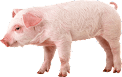 pig_PNG2214