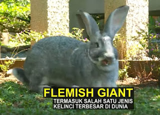 Kelinci  Jenis Flemish Giant