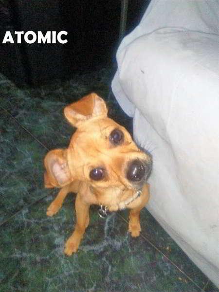 cachorro de talla miniatura