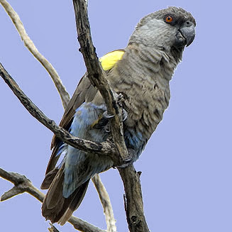 Rupell´s parrot