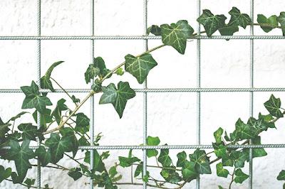 La hiedra es una planta trepadora