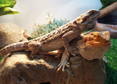 Bearded dragon behavior