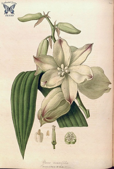 Yucca recurvifolia botanical illustration