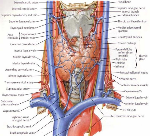 What Is Thyroid Anatomy Blood Supply Embyology Muscle Supply