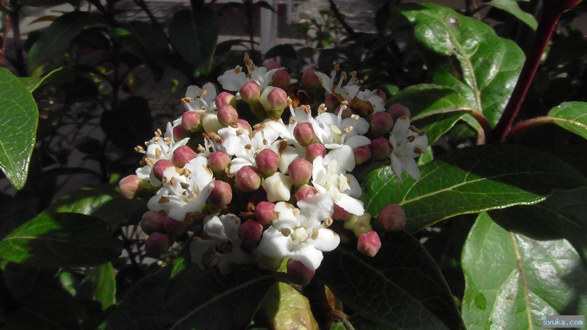 トキワガマズミの花