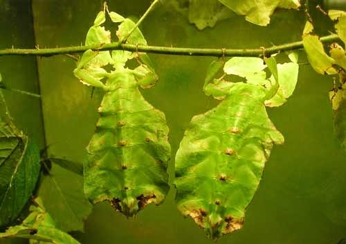 Kamuflase Serangga Daun (Phyllium Giganteum)