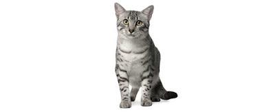 القطط المصرية : Egyptian Mau