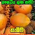 ඖෂධීය ගුණයෙන් පිරි තැඹිලි (Thabili - King Coconut)