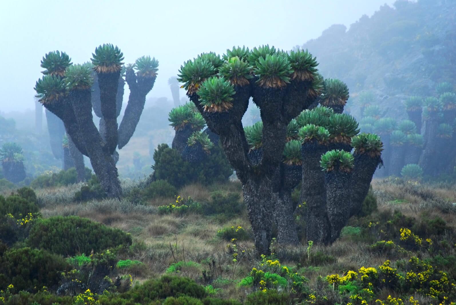 Килиманджаро нетерпеливый, цветок в Африке