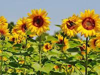 Cara yang Tepat Untuk Menanam Bunga Matahari Supaya Cepat Berbunga