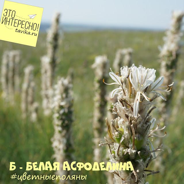 цветы асфоделины крымской