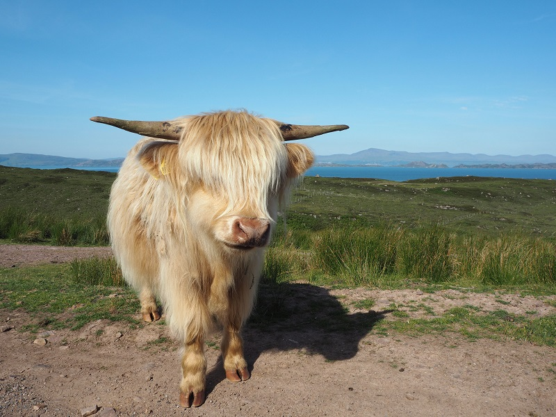 Highland cow North Coast 500