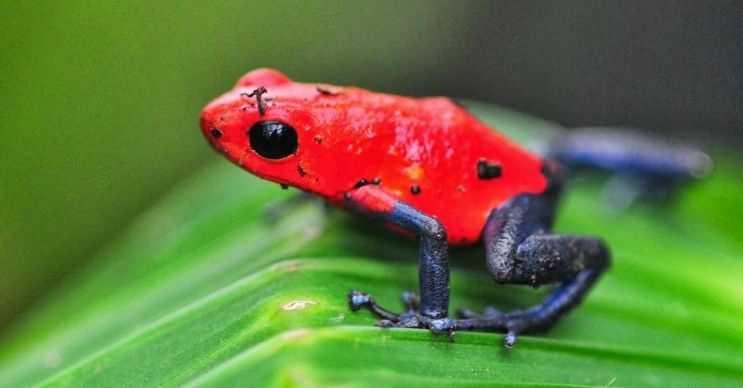 Zehirli ok kurbağaları değişik tonlarda ve renklerde olabilirken kimileri de tek renkli olur.